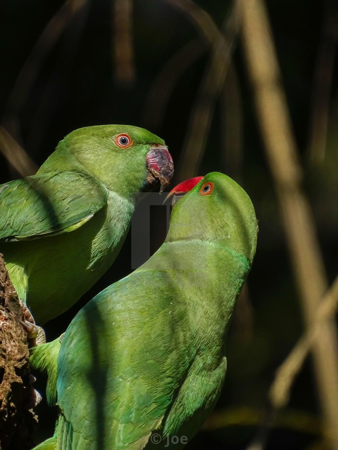 """""""Two Parakeets"""" stock image"""