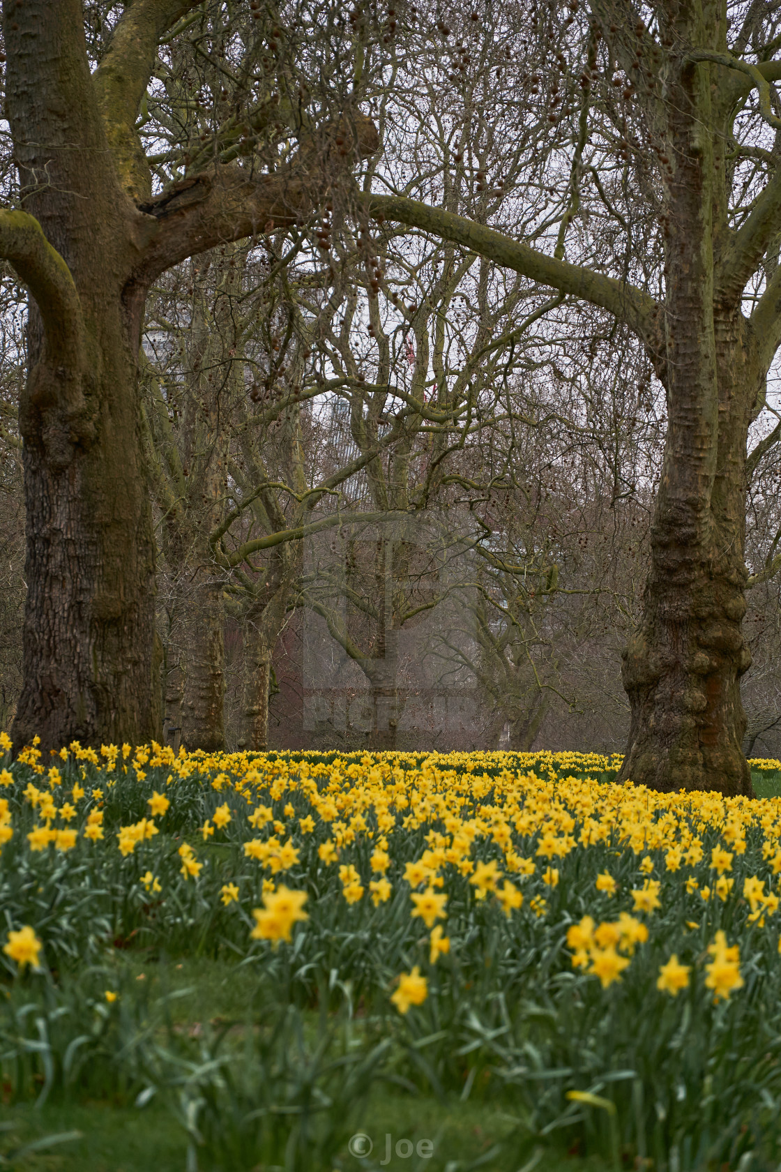 """""""Daffodils in St James's Park, London"""" stock image"""