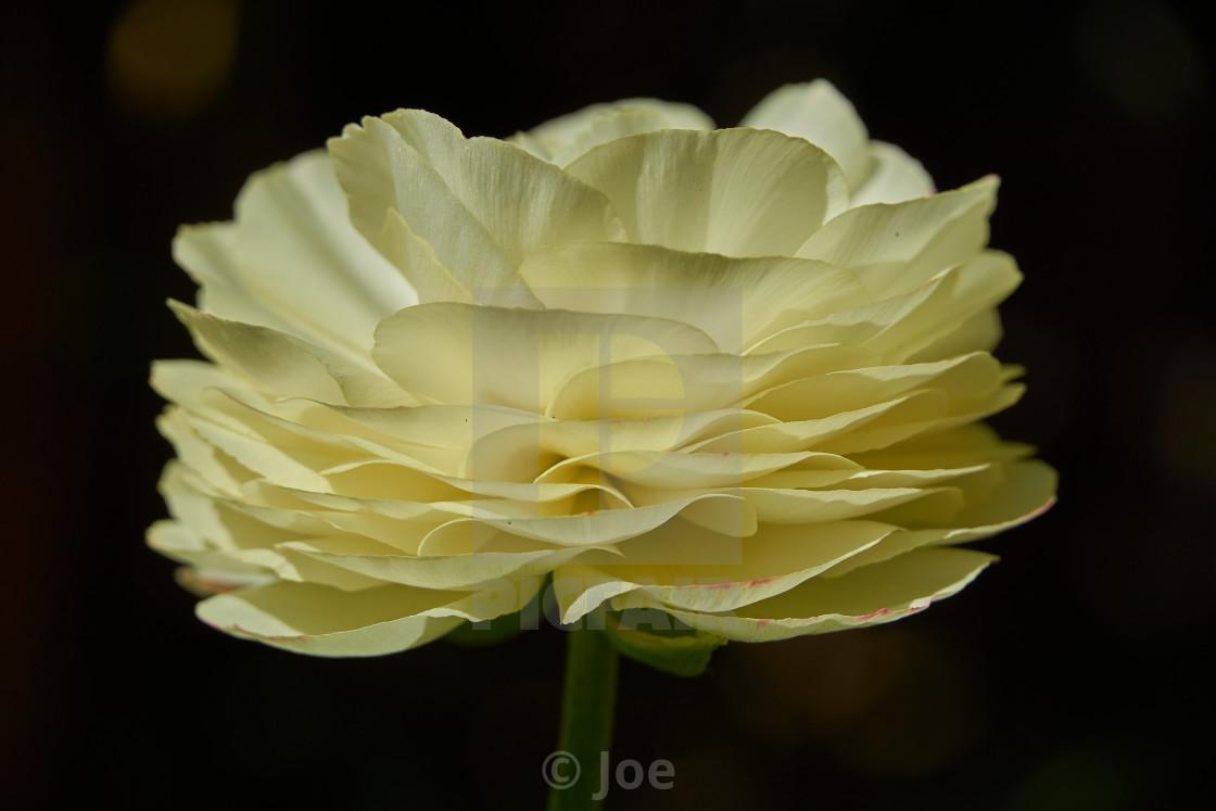 """White Ranunculus"" stock image"