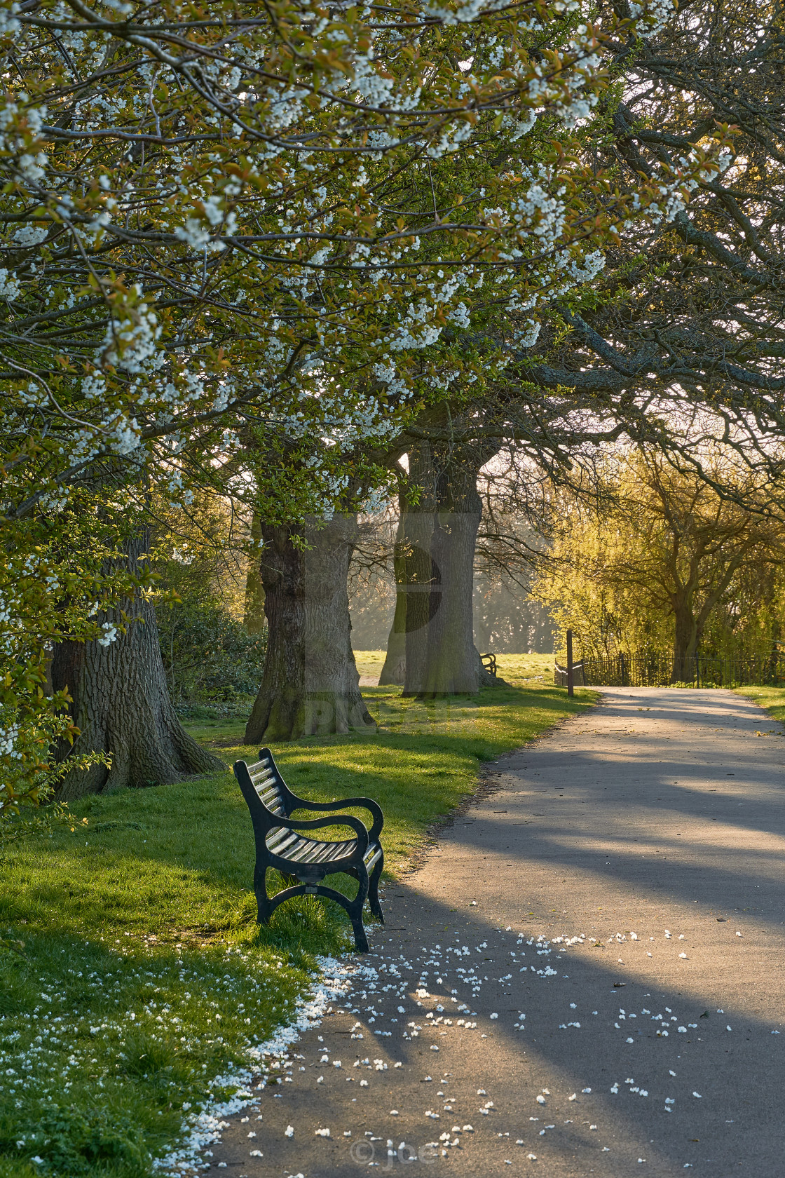 """""""Park Bench Beneath Blossoming Trees"""" stock image"""