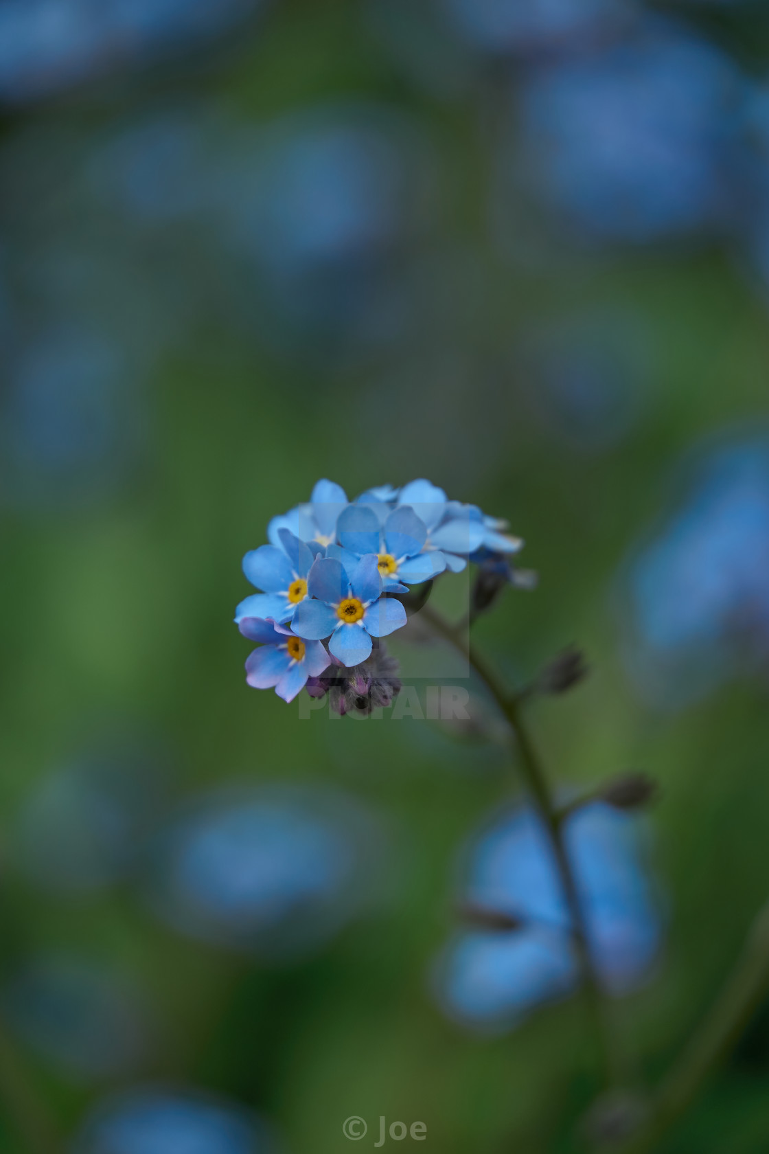 """""""Forget-me-nots"""" stock image"""