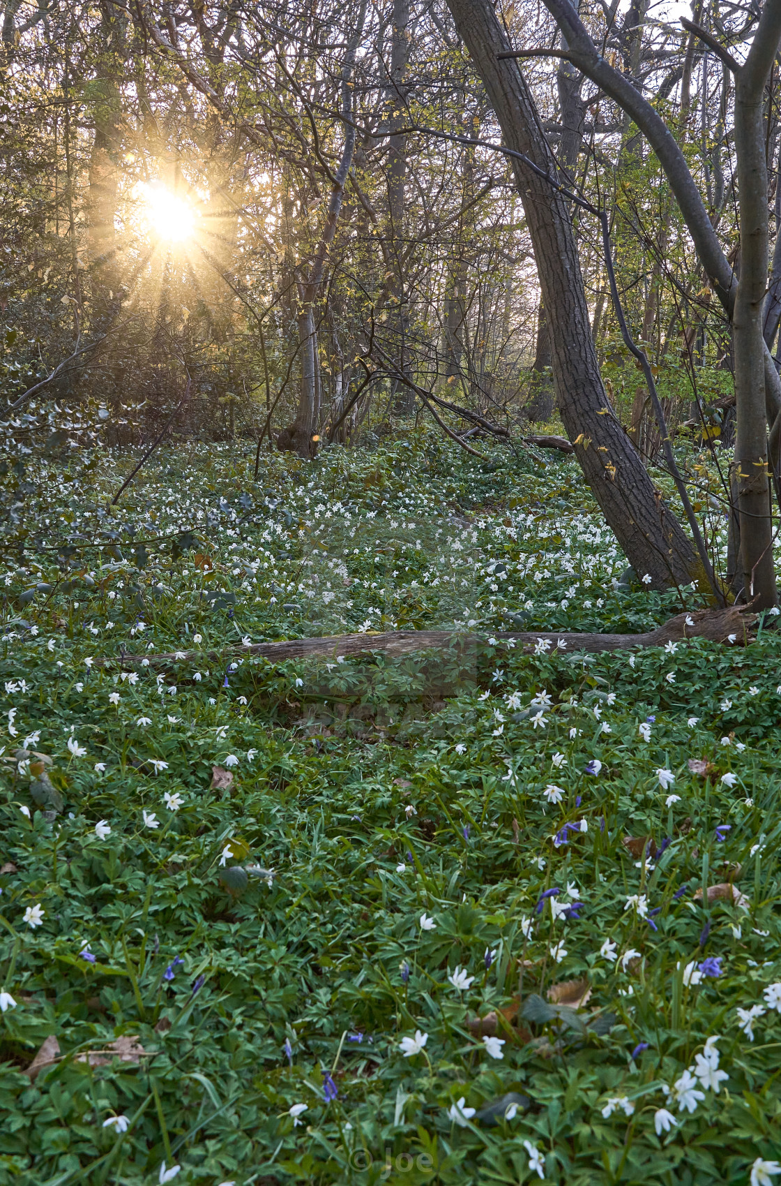 """""""Wood Anemones with Sunstar"""" stock image"""