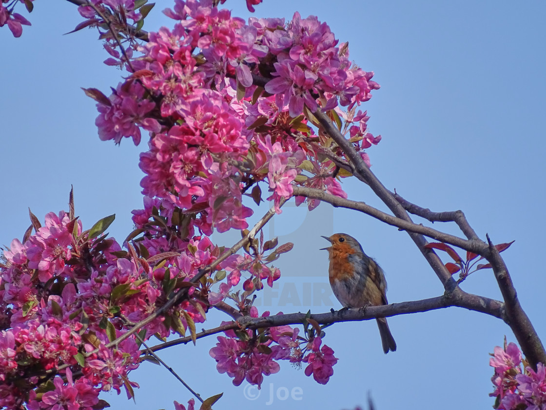 """""""Robin Perched Amongst Blossom"""" stock image"""