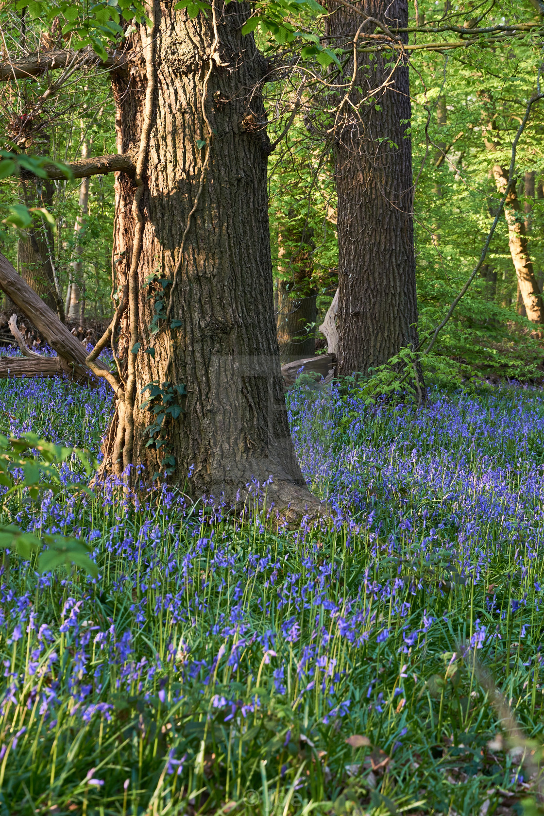 """""""Bluebells in the Wood"""" stock image"""