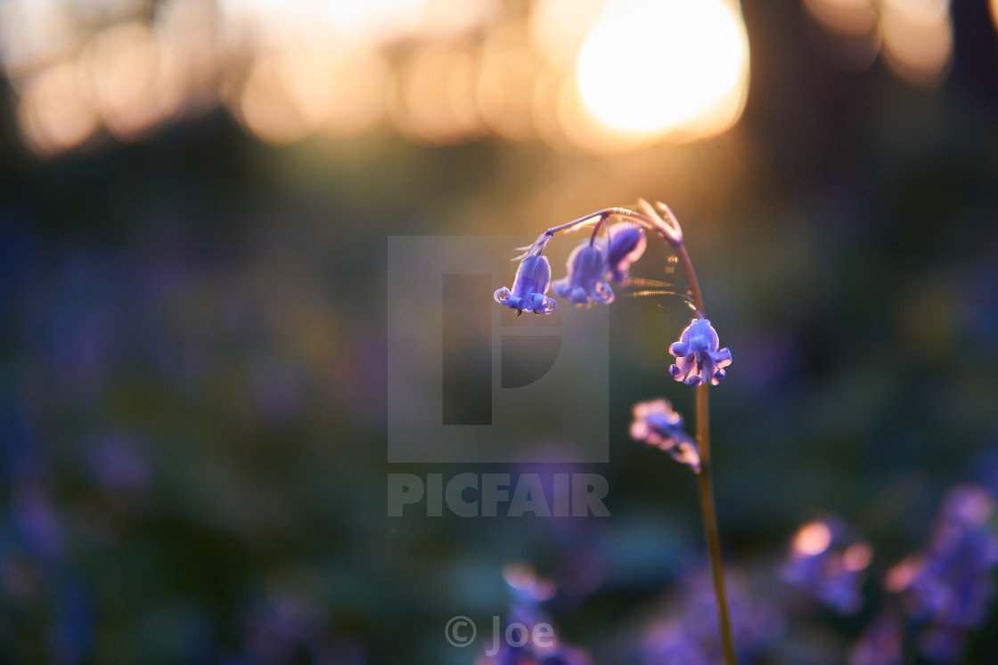 """""""Bluebell at Sunset"""" stock image"""