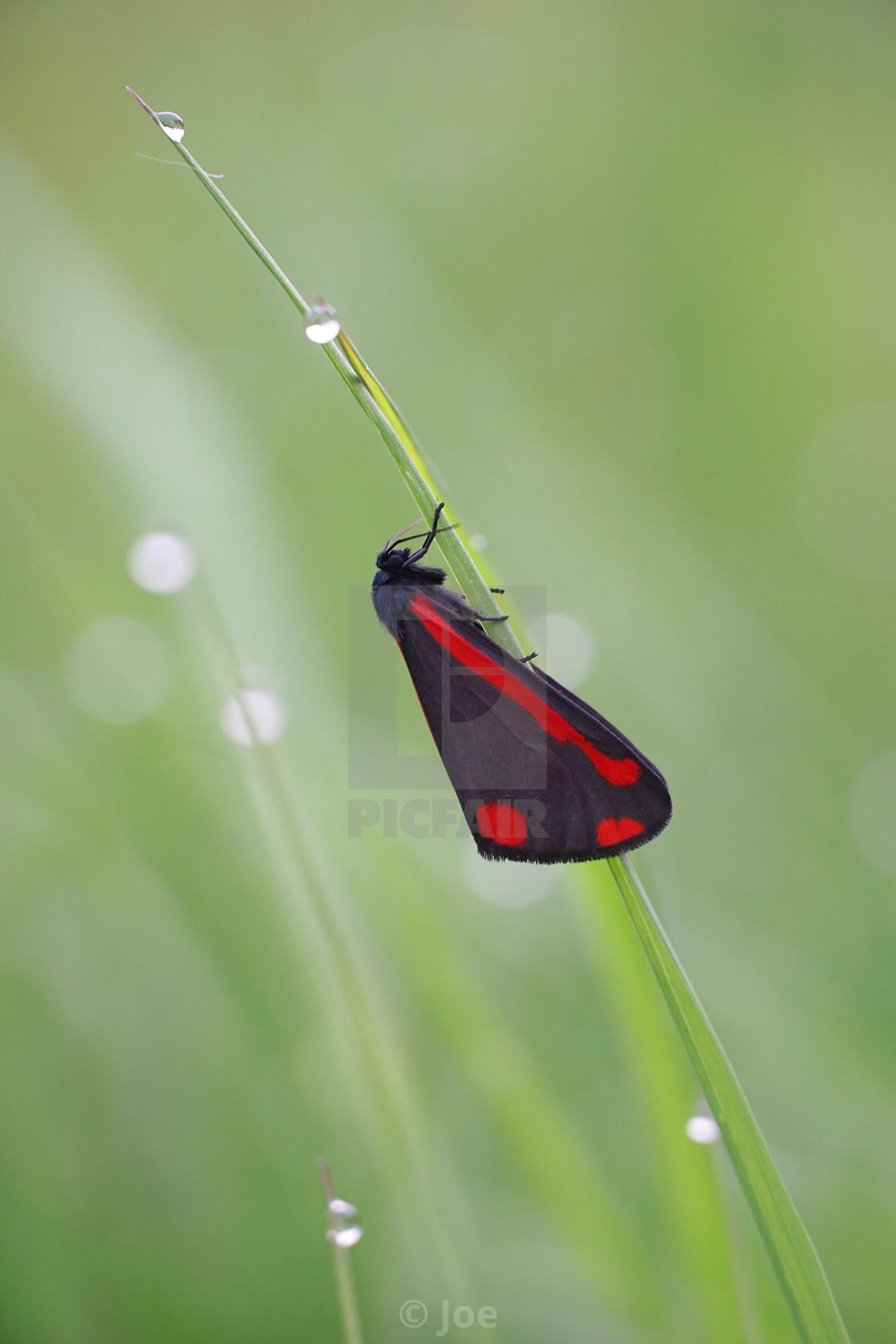 """Cinnabar Moth 2"" stock image"