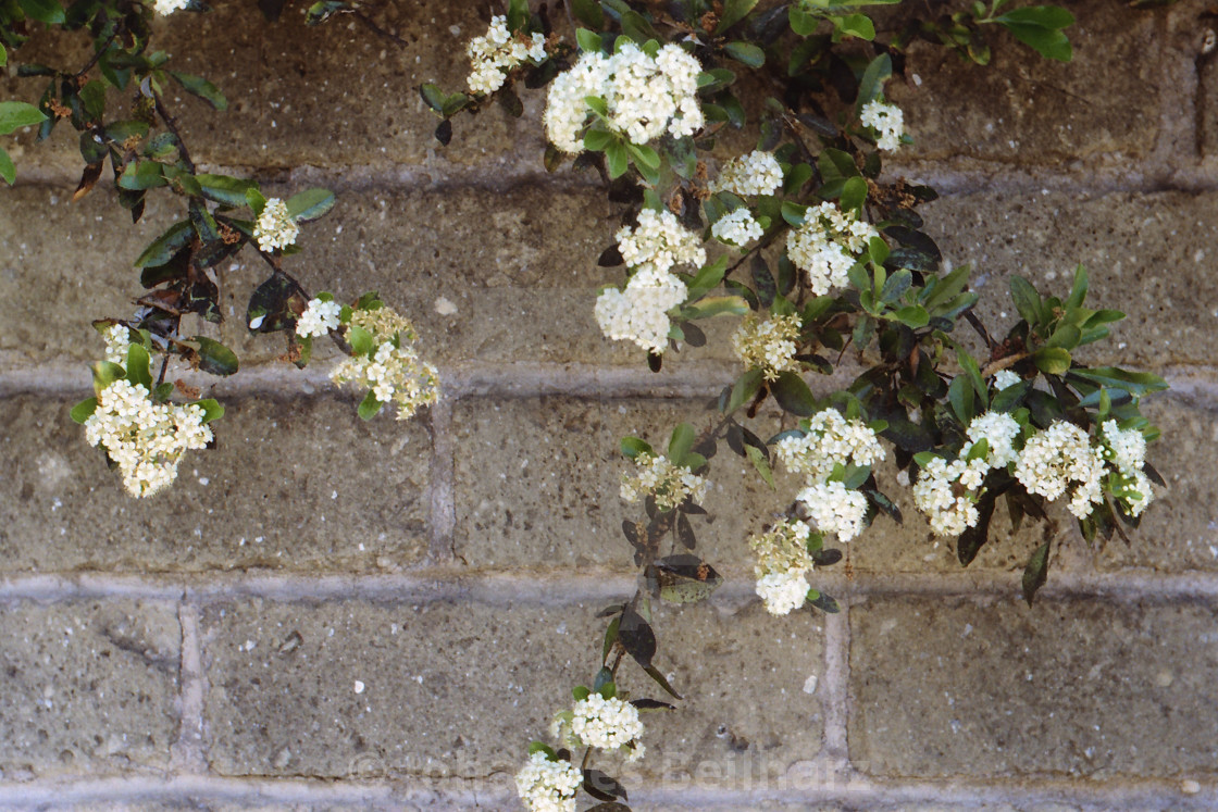 """Flowers tumbling down a wall"" stock image"