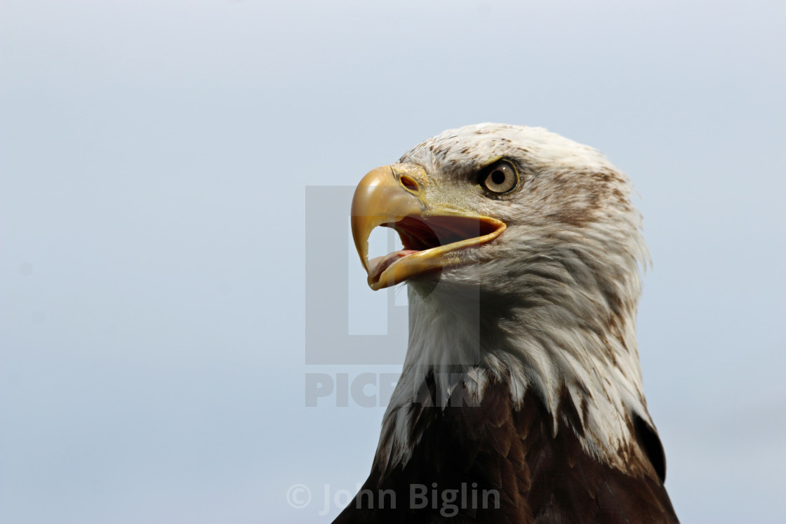 """Head and shoulders of a sub-adult American bald eagle"" stock image"