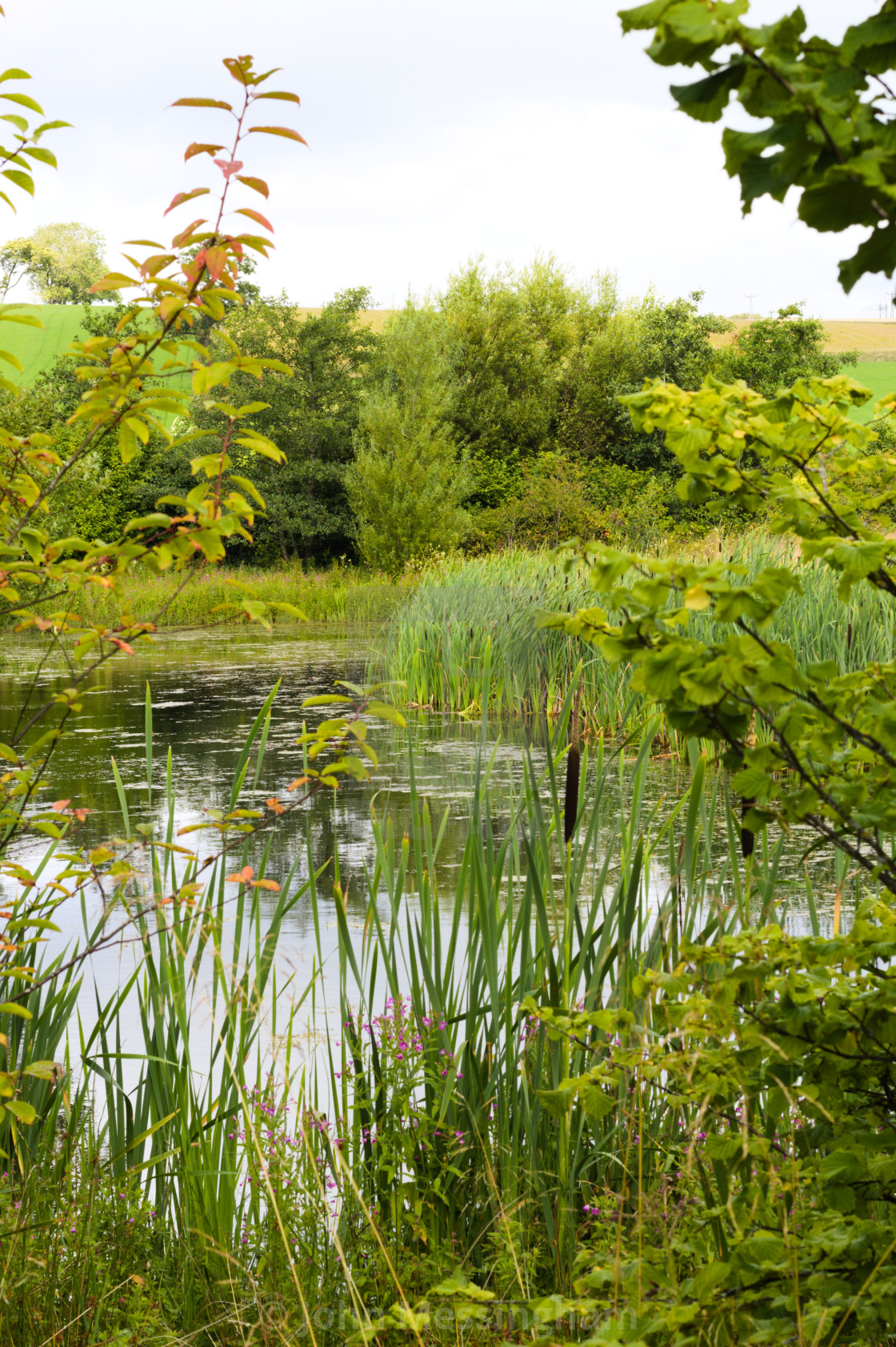 """""""Pond surrounded by green trees, grass and reeds"""" stock image"""