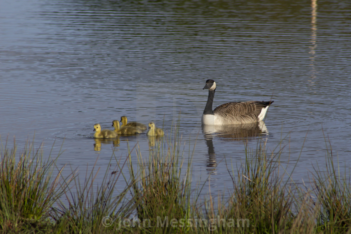 """Canada Goose with Goslings"" stock image"