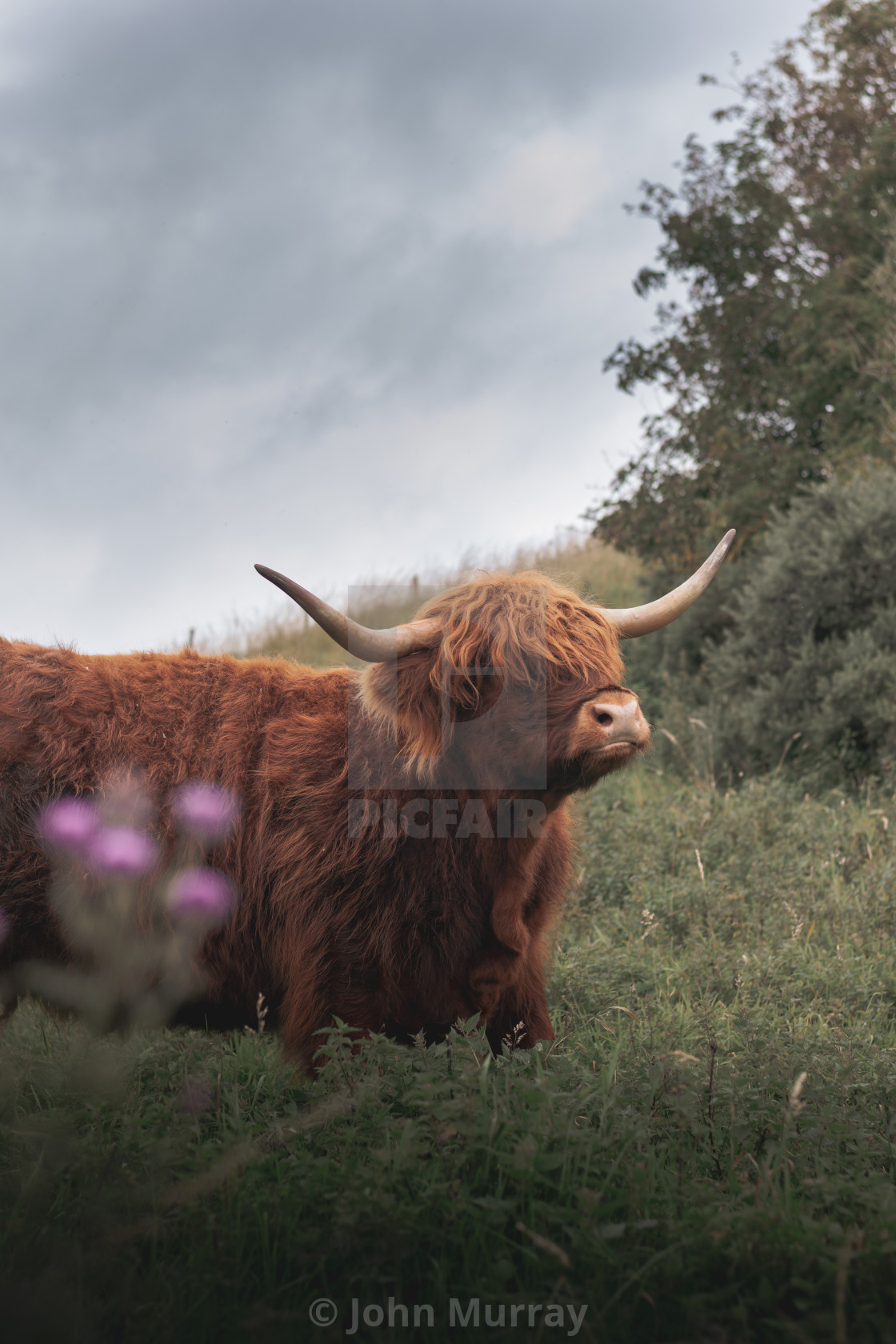 """The Posing Coo"" stock image"