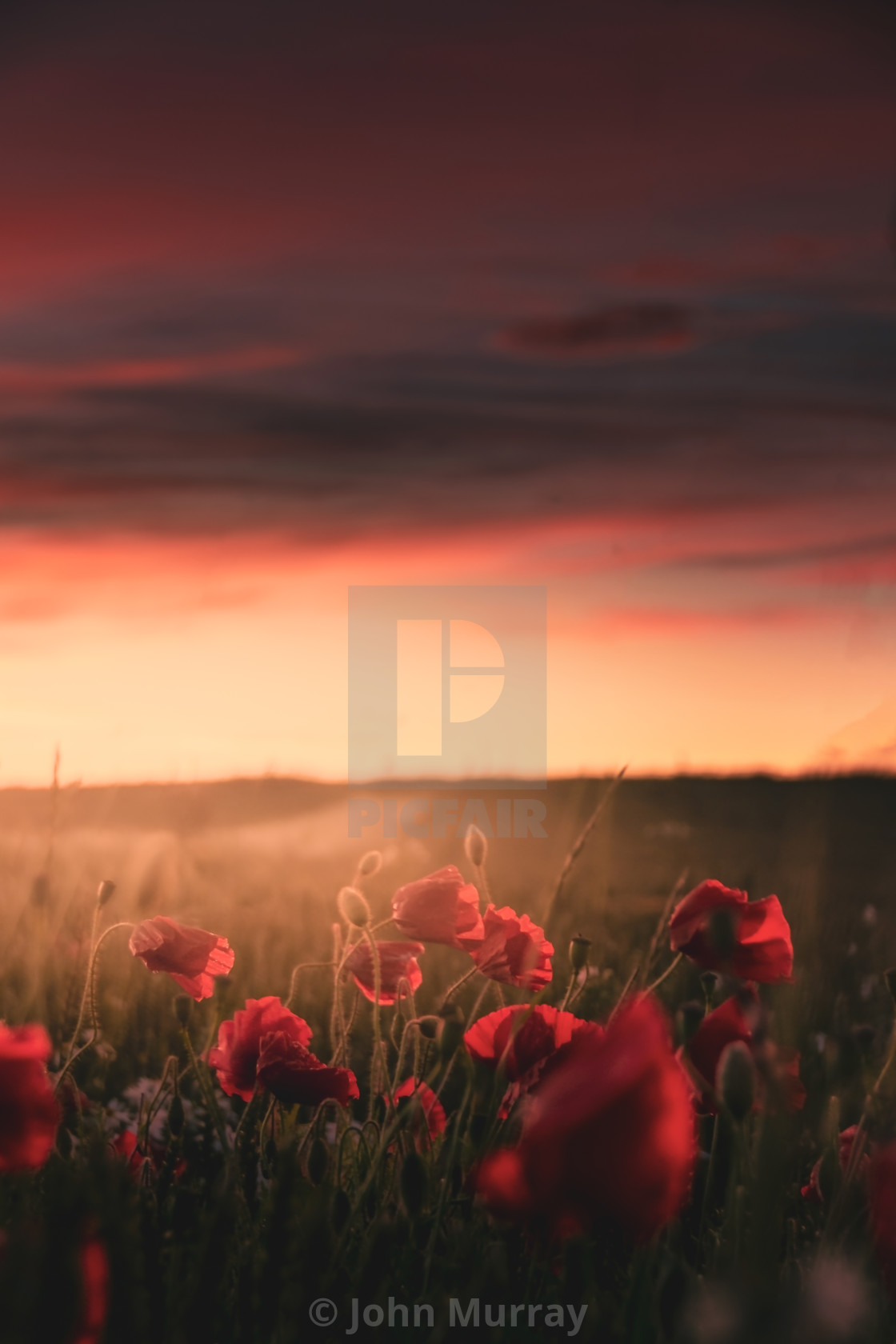 """Poppies at Sunset"" stock image"