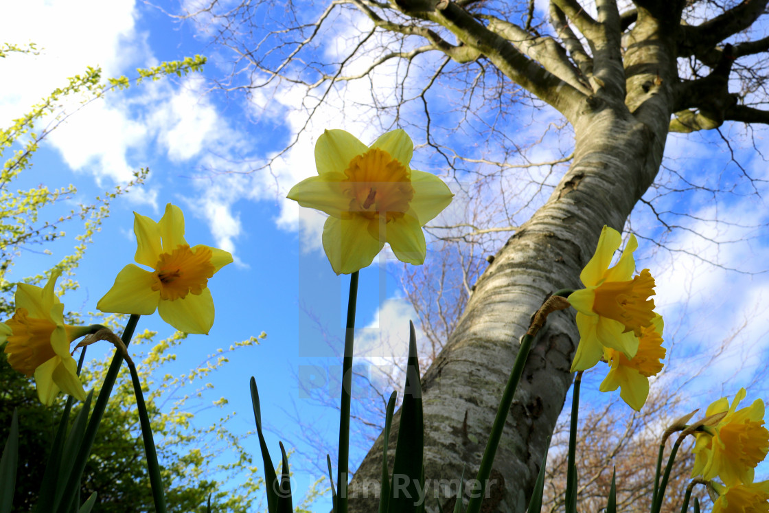 """Daffodils against a blue sky."" stock image"