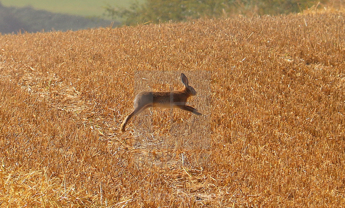 """""""Mid-air Hare at harvest time."""" stock image"""