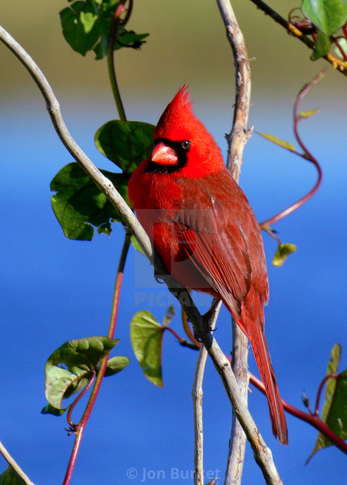 """""""Northern Cardinal"""" stock image"""