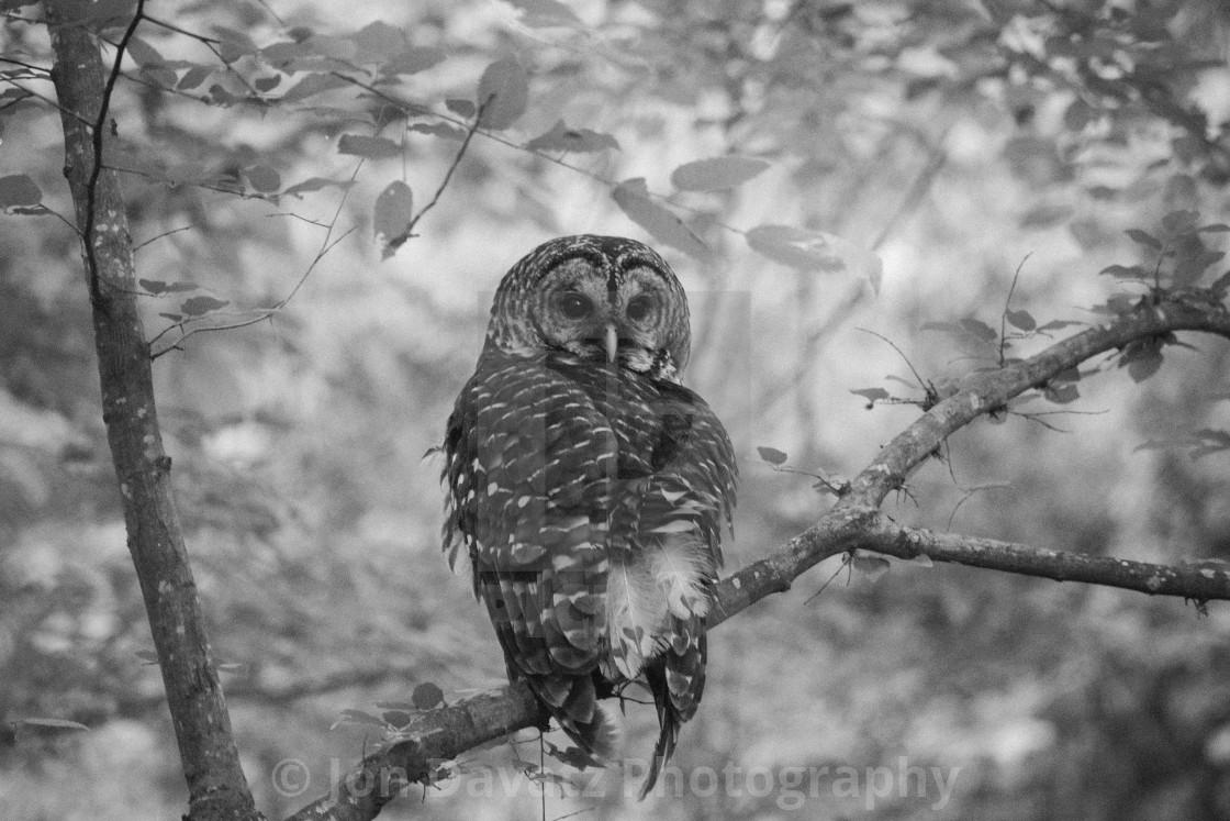 """Barred Owl"" stock image"