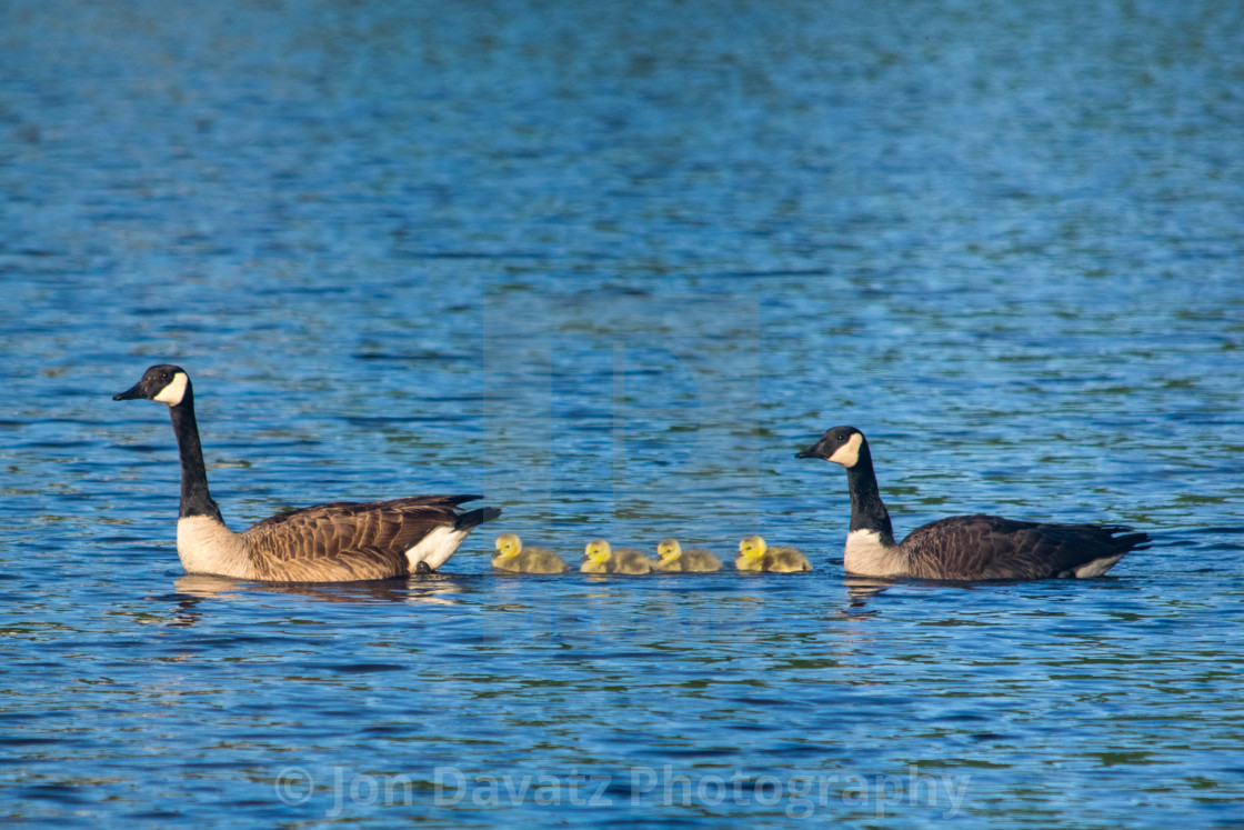 """""""Canada Goose with gooslings on a lake"""" stock image"""