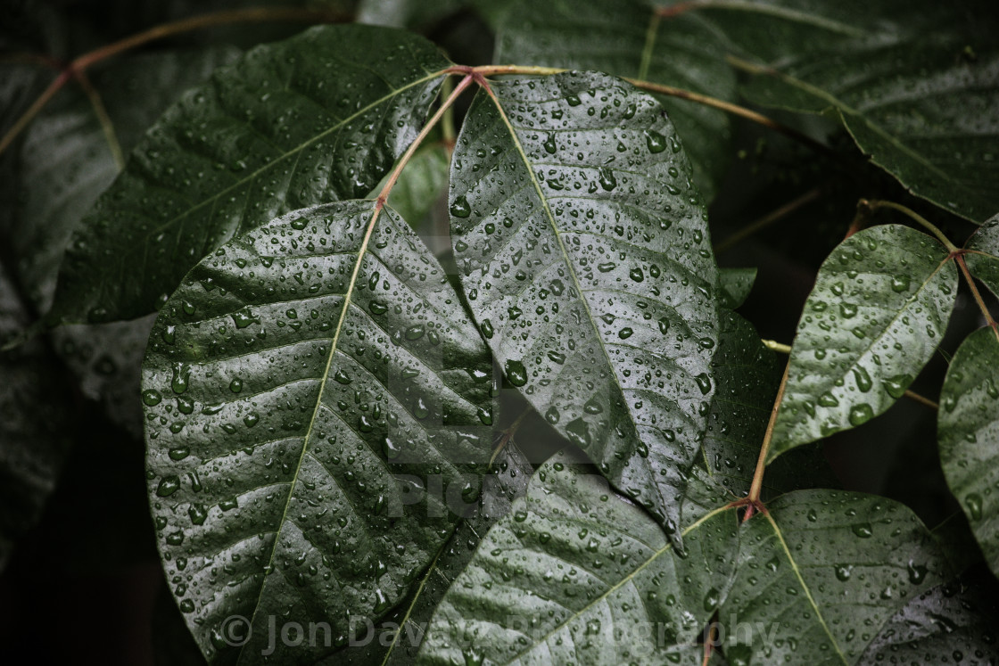 """""""A pattern of green leaves with water drops"""" stock image"""