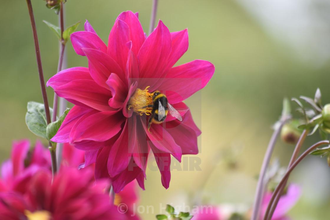 """Dalia with Bee"" stock image"