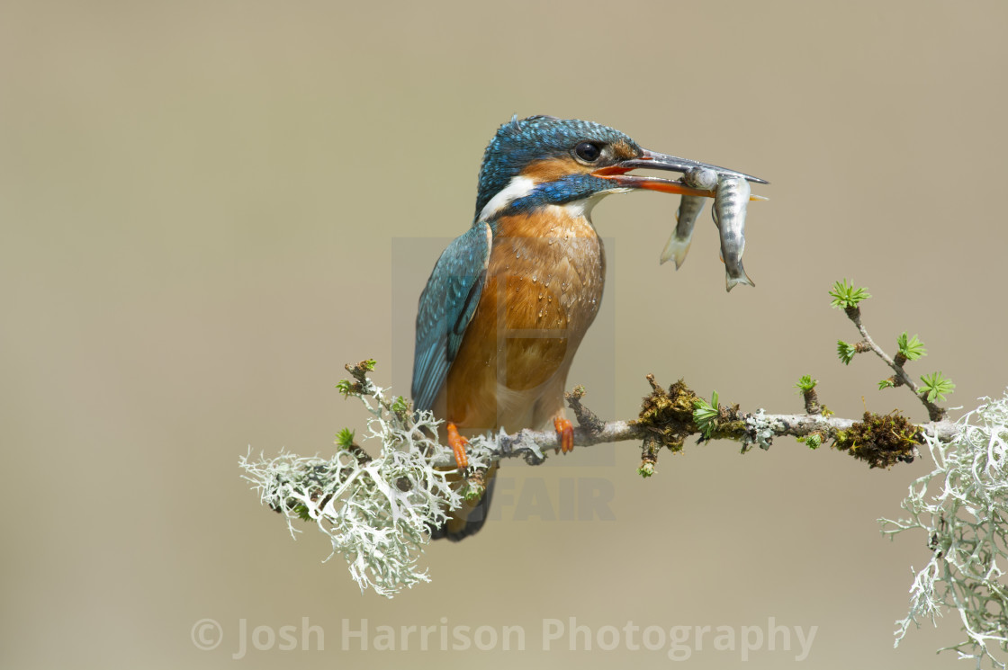 """""""Kingfisher With Two Fish"""" stock image"""