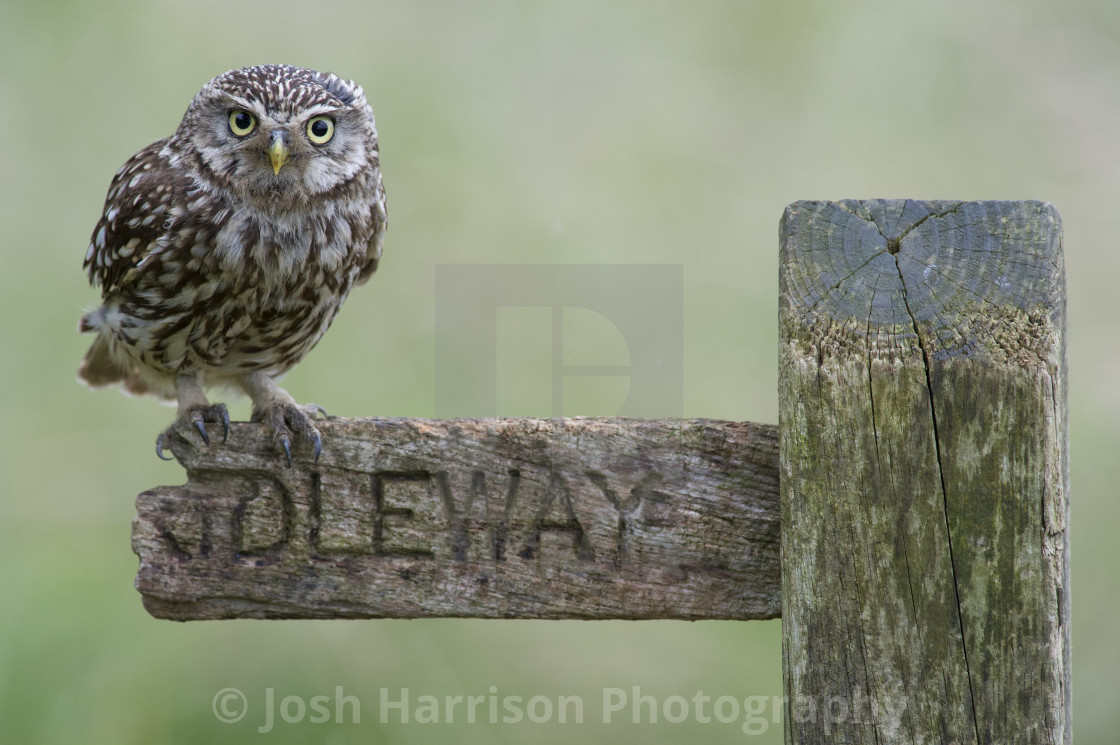 """""""Little Owl On Sign"""" stock image"""