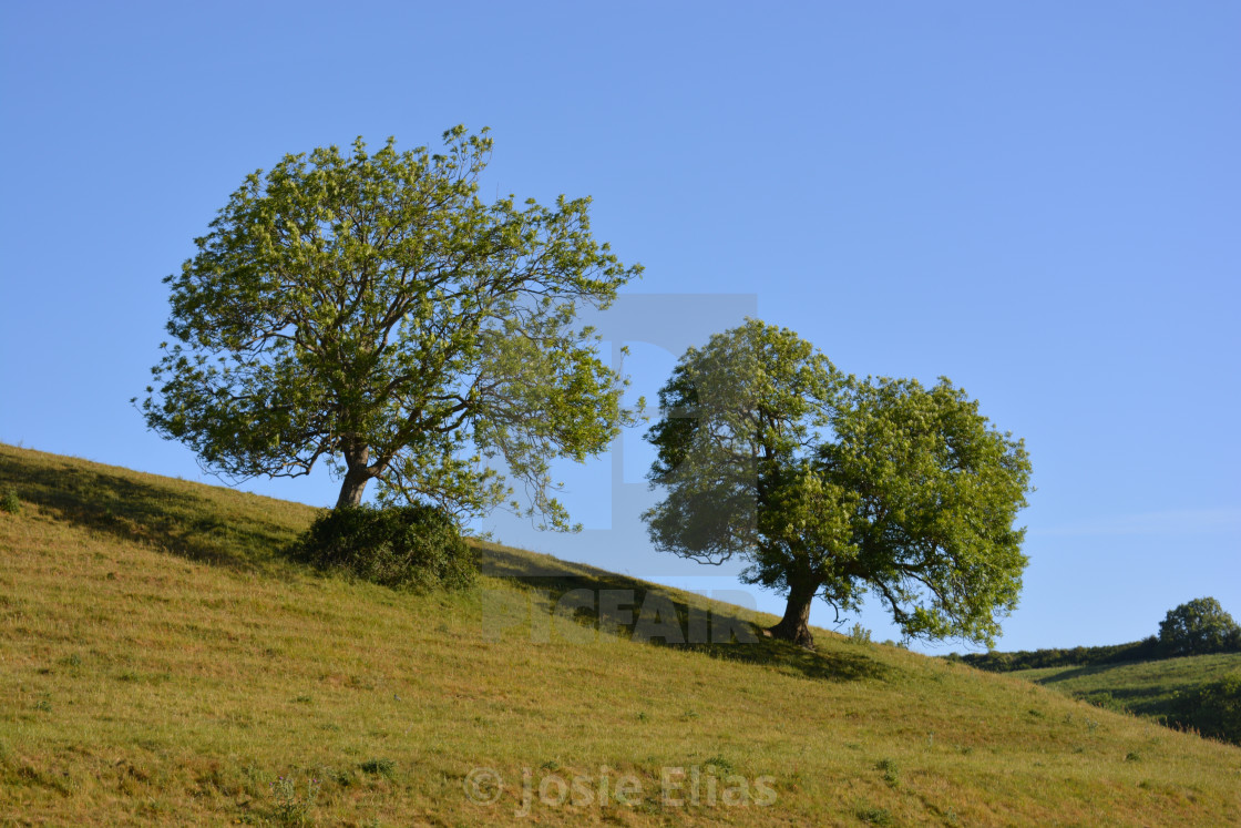 """""""Two trees on hill on a bright and sunny morning"""" stock image"""