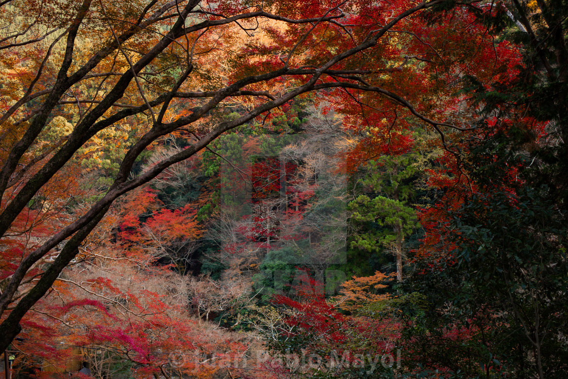 """Kyoto Autumn"" stock image"