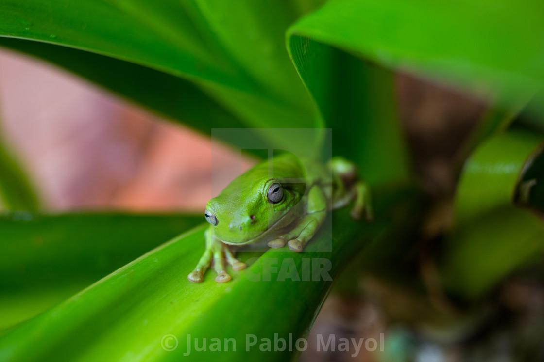 """Australian tree frog"" stock image"