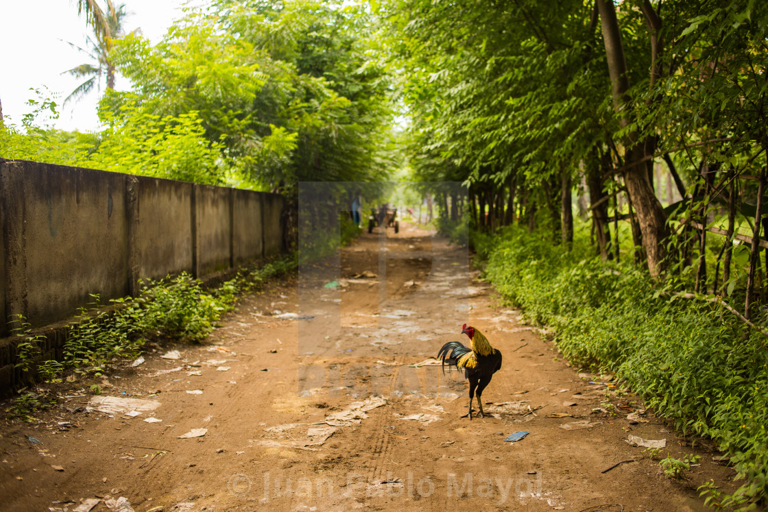 """Rooster on the road"" stock image"