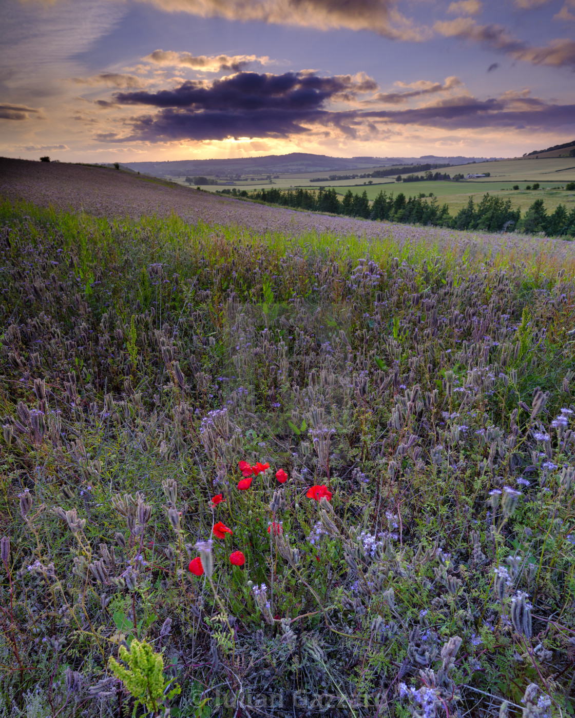 """""""Sunset over thistles and poppies in the Meon Valley, Hampshire,"""" stock image"""