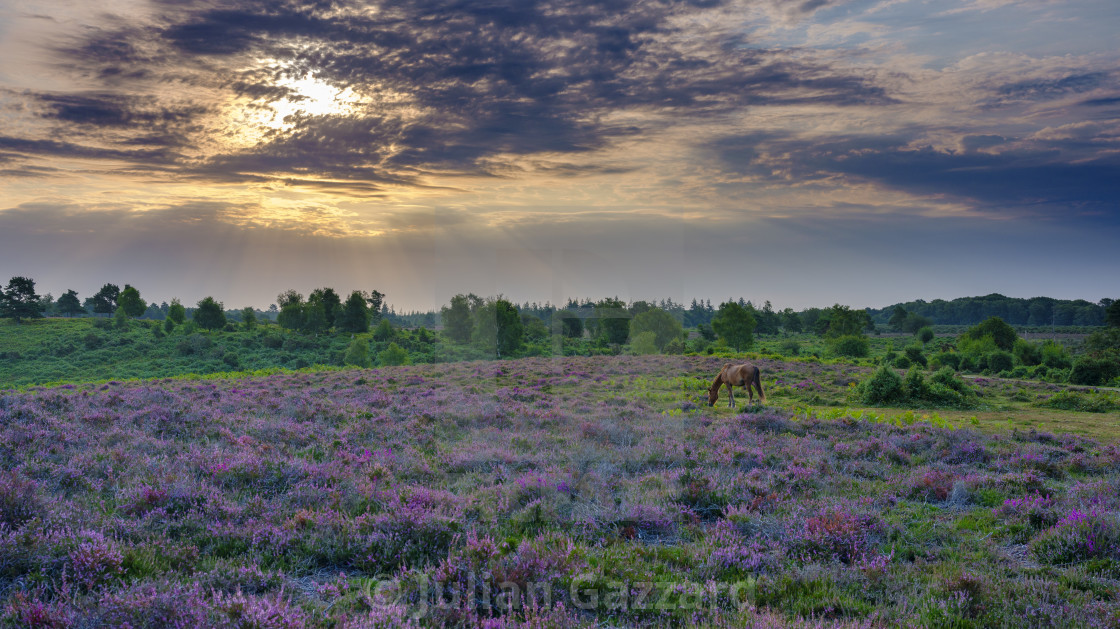 """""""Sunrise and heather with a grazing pony on Rockford Common, New"""" stock image"""