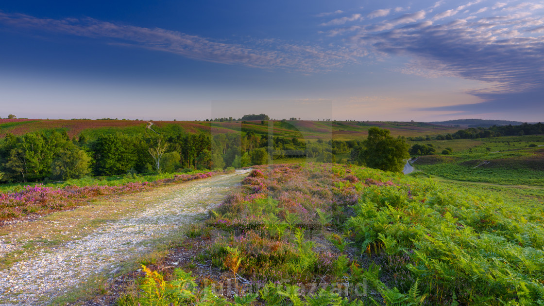 """""""Sunrise and heather on Rockford Common, New Forest"""" stock image"""