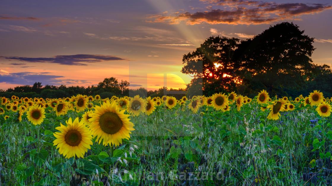 """Sunset on sunflowers"" stock image"
