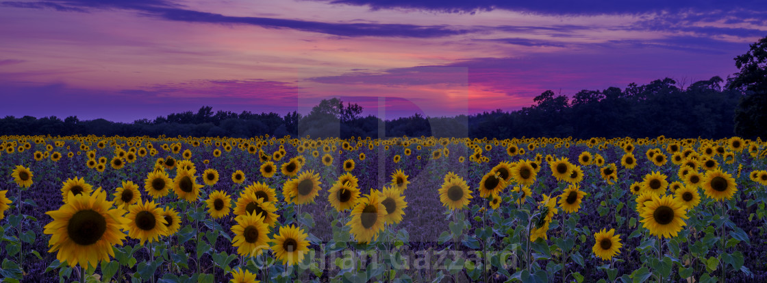 """""""Sunset and sunflowers in Hampshire"""" stock image"""