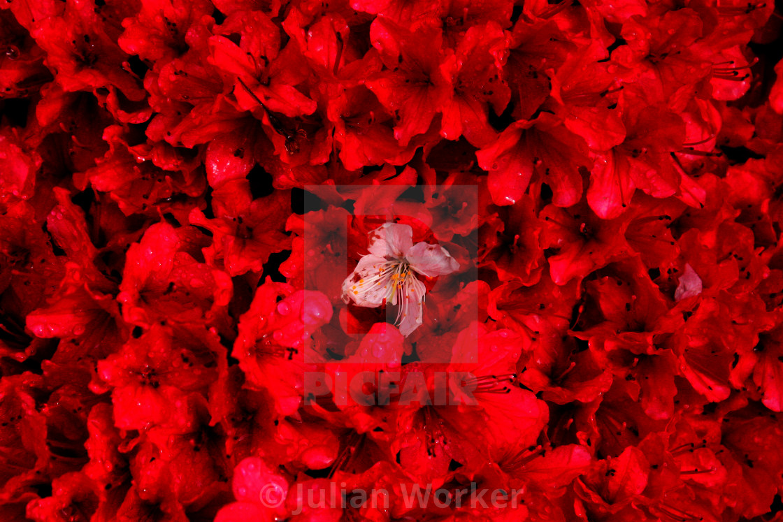 """Abstract - A white flower amongst the red flowers"" stock image"