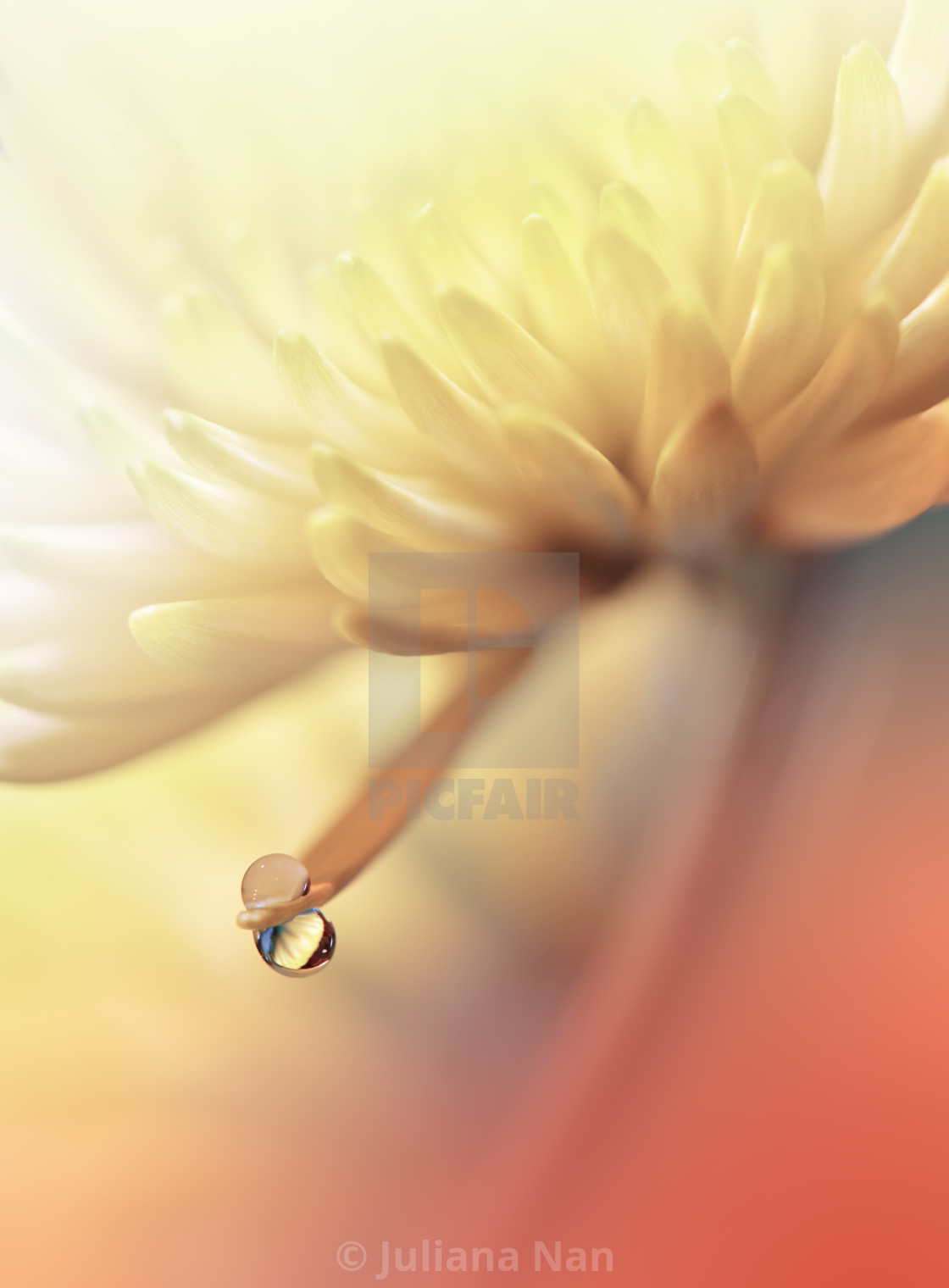 """Beautiful Nature Background.Floral Art Design.Abstract Macro Photography.Yellow Daisy Flower.Pastel Chrysanthemum Flowers."" stock image"