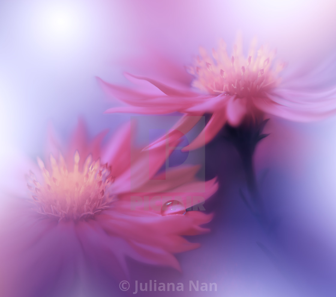 """""""Beautiful Nature Background.Floral Art Design.Abstract Macro Photography.Gerbera Daisy Flower.Pastel Flowers.Violet Background.Creative Artistic Wallpaper."""" stock image"""