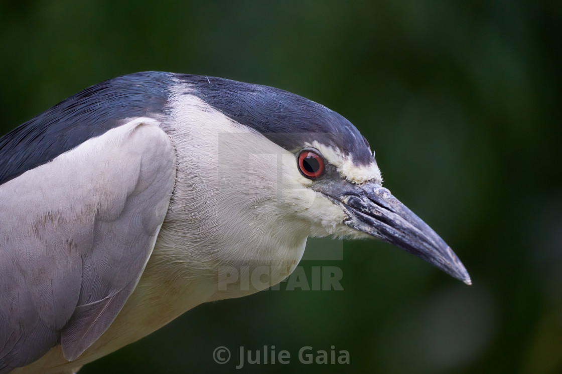 """""""Portrait of the black-crowned night heron in the trees (Nycticorax nycticorax)."""" stock image"""
