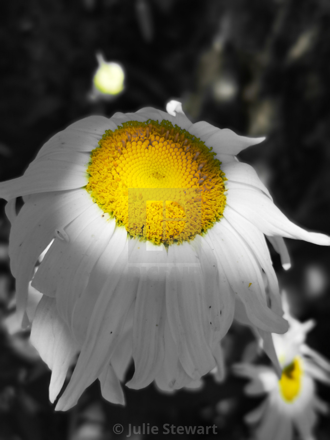 """""""End of Daisy"""" stock image"""