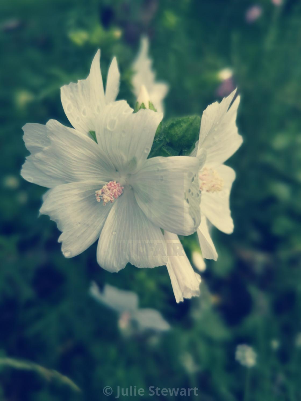 """Innocence of White Flowers"" stock image"