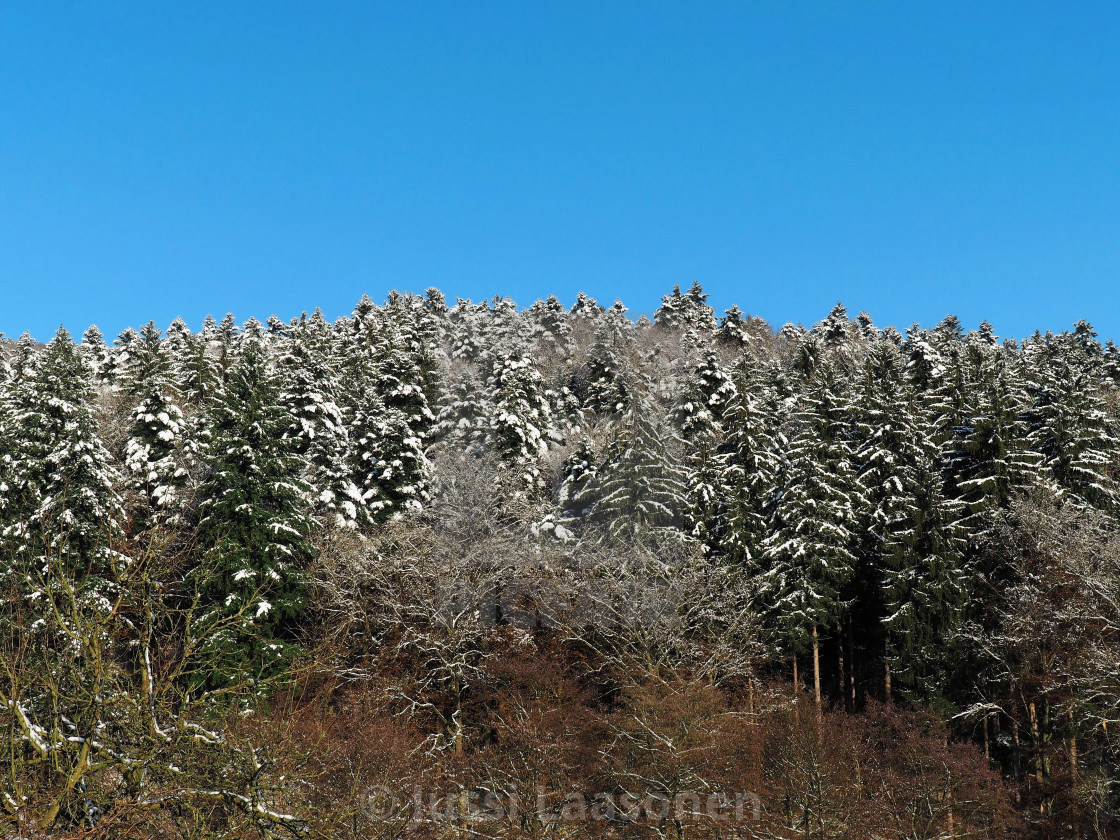 """""""Snowy Spruce Trees"""" stock image"""