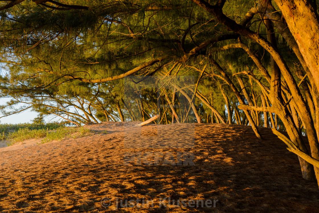 """Casaurina Trees on the Beach"" stock image"