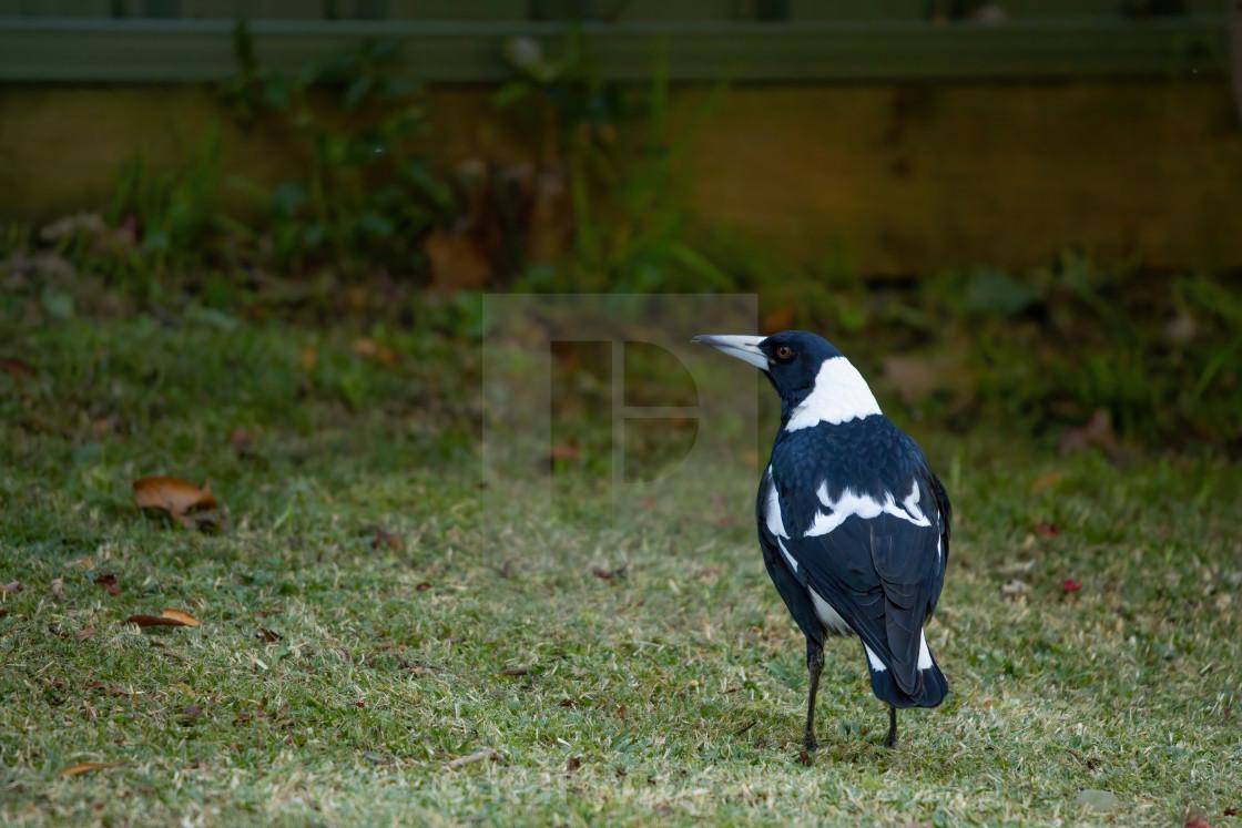 """The Australian Magpie"" stock image"