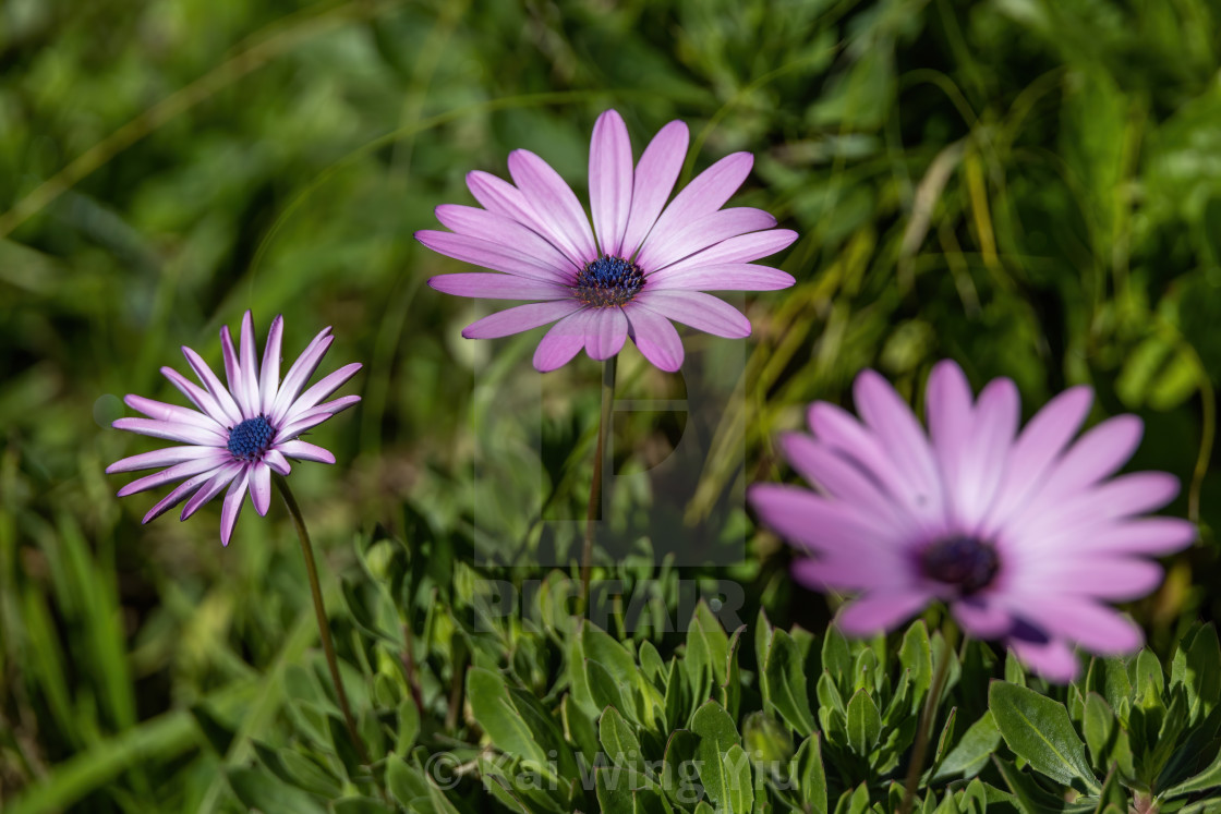 """The daisies"" stock image"