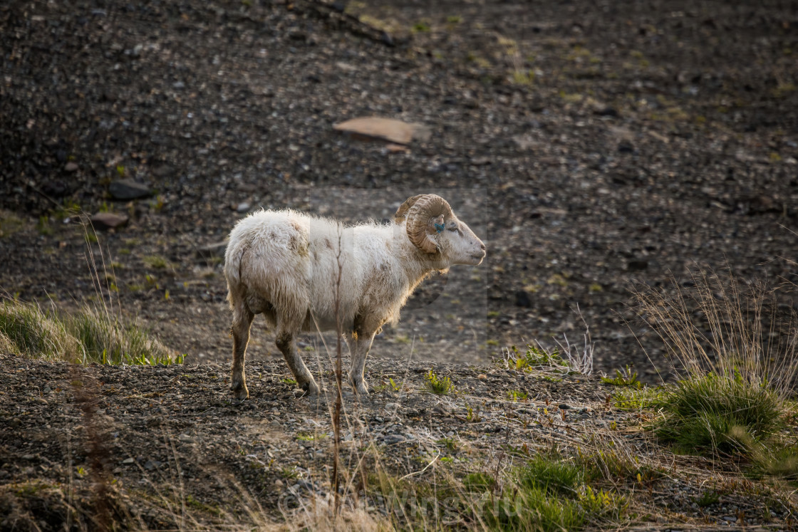 """The Ram in the Wild, Iceland"" stock image"