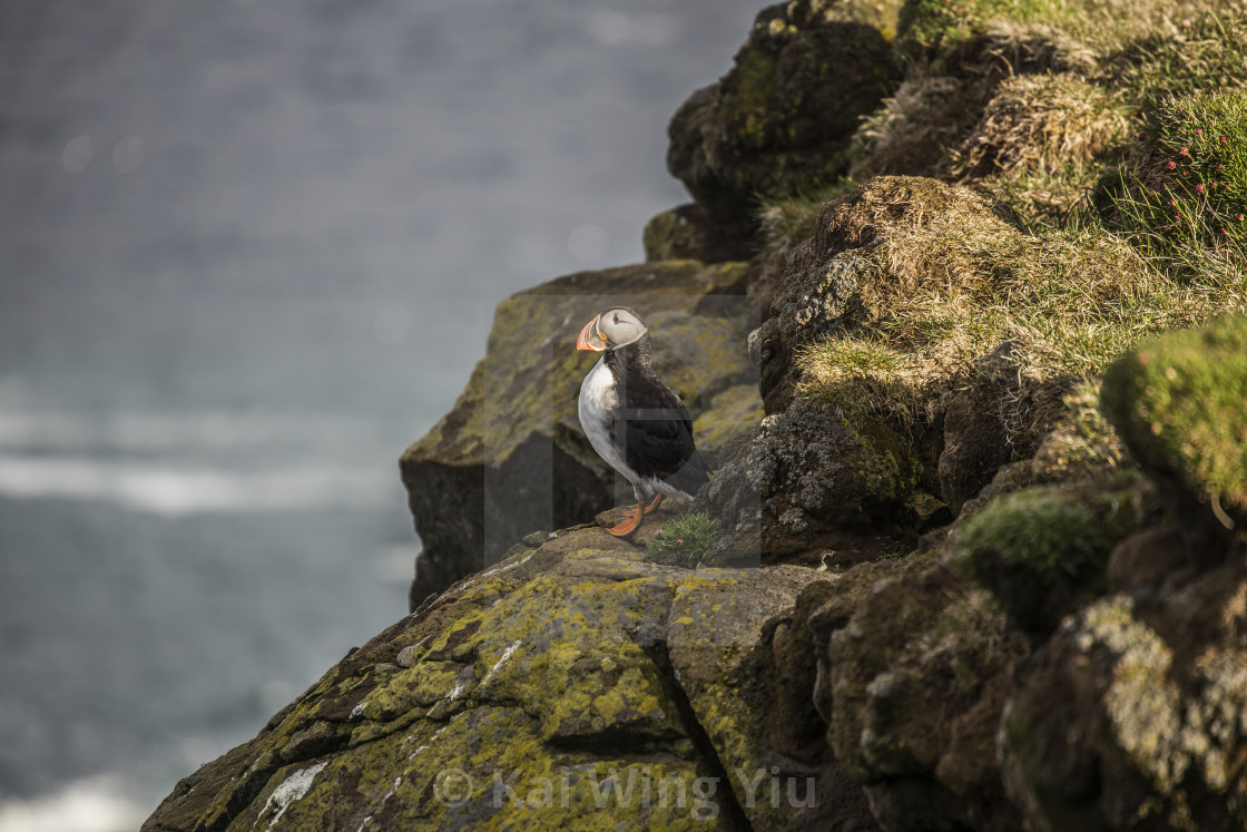 """The Puffin, Iceland"" stock image"