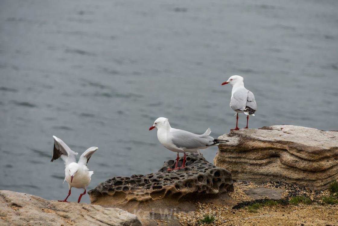 """The Gulls, Woolrich, Sydney, Australia"" stock image"