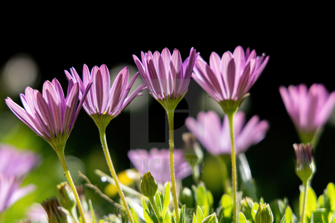 """""""Daisies in the morning"""" stock image"""