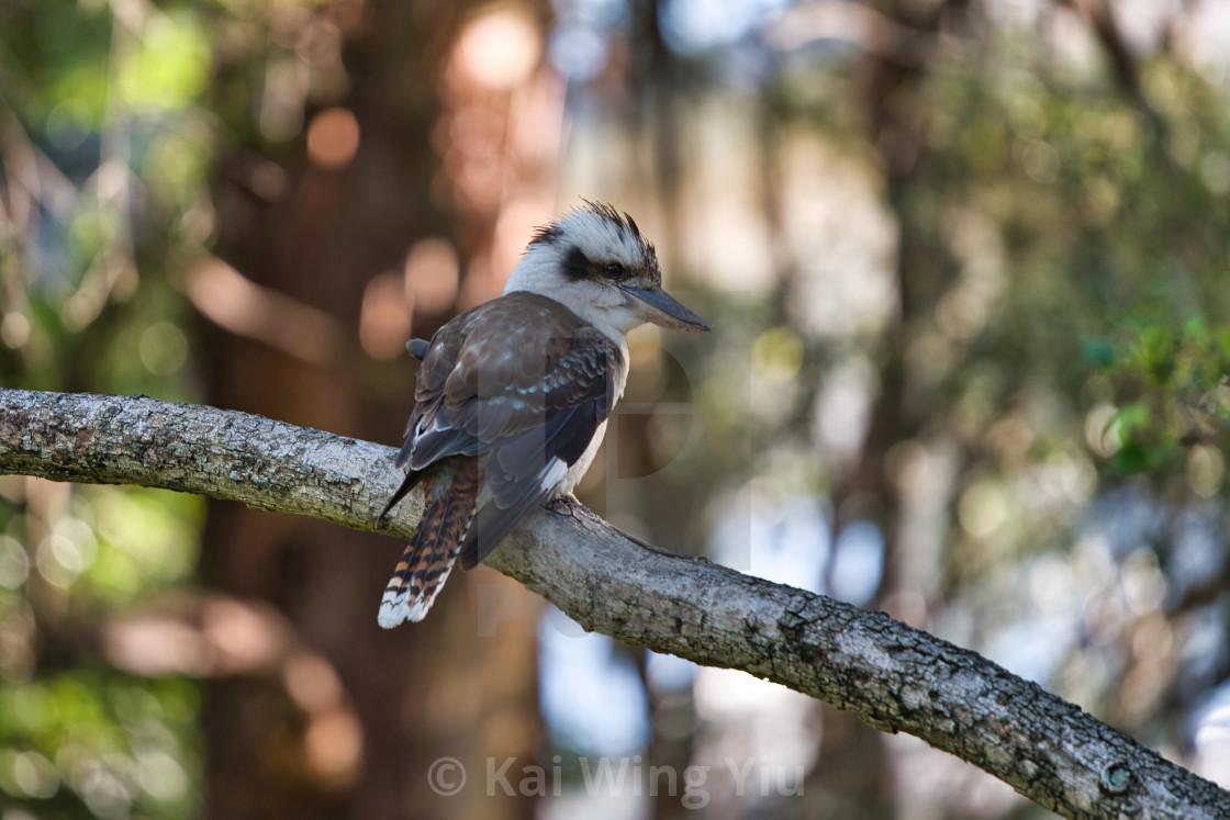 """""""The Kookaburra"""" stock image"""
