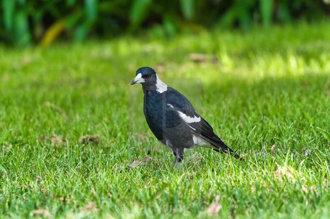 """The Magpie"" stock image"